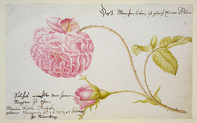 Single leaf from an unknown album. Watercolour painting by Maria Sibylla Merian, Nuremberg 1675 | SBB, I R 90