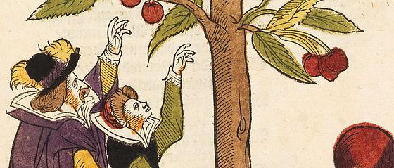 Kirschbaum. Kolorierter Holzschnitt aus dem Florilegium des Ulricus Völler von Gellhausen. Frankfurt am Main, Weixner, 1616 | SBB, Bot.f.77, Bl. 50r